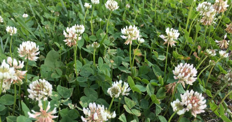 8 reasons I love White Clover
