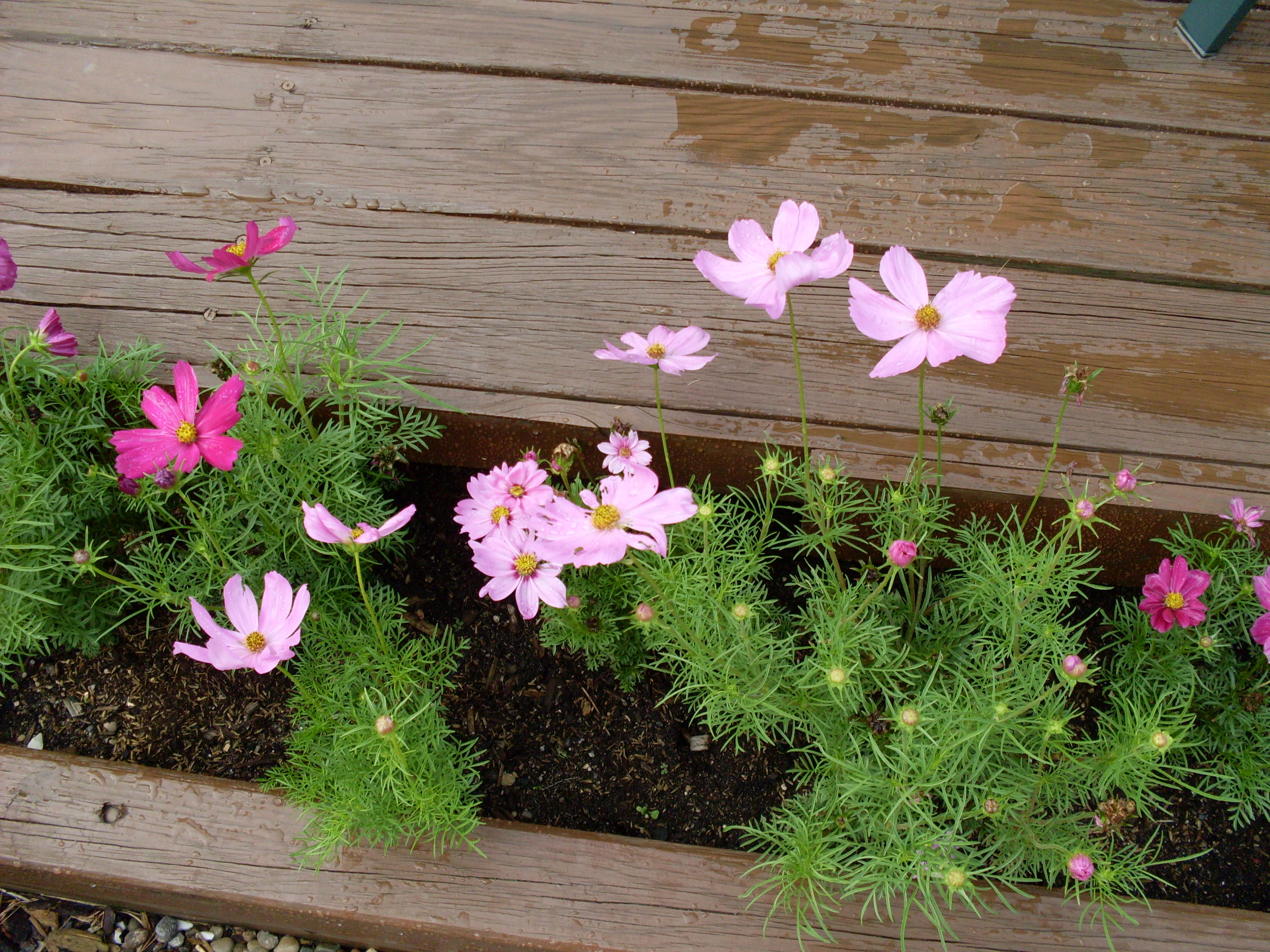 Cosmos: carefree and great for cutting - Barb's Back Yard